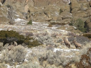 Sheep on Deer Creek